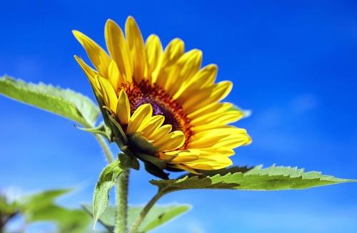 sun-flower-1536088_1920.jpg